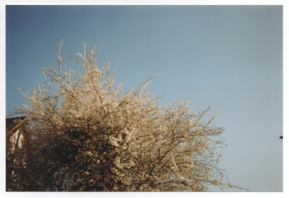 Blossoming_trees