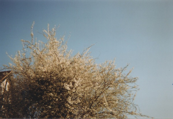 Dis_Cam_Blossoming_trees